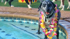 Dog smiling in the pool