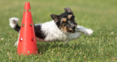 Dog running around a traffic cone