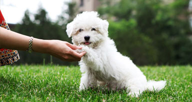 Small white dog shaking hands